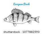 river and lake fish. european... | Shutterstock .eps vector #1077882593