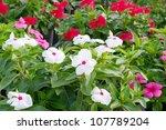 Roseus Flowers