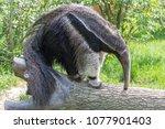giant anteater  animal eating...   Shutterstock . vector #1077901403