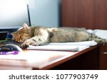 Stock photo a big cat is well laid and sleeps on a black keyboard from a computer in the office 1077903749