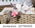 Two White Goats In A Basket