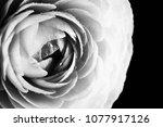 huge black ranunculus. close up   Shutterstock . vector #1077917126