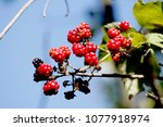 blackberry in nature | Shutterstock . vector #1077918974