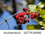 blackberry in nature | Shutterstock . vector #1077918980