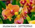 Vanda or vandas orchid flowers...
