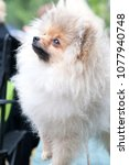 pomeranian spitz close   Shutterstock . vector #1077940748