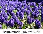 carpet of flowers of purple... | Shutterstock . vector #1077943670