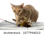 devon rex  cat on white... | Shutterstock . vector #1077946013