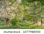 Green Lane With Cherry Trees I...