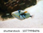 Lagoon Triggerfish  Blackbar...
