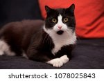 Stock photo black and white domestic cat lying on black sofa with red pillow 1078025843