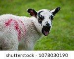 Small photo of A lamb looking at the camera and baaing