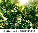 leaves background and sunlight. | Shutterstock . vector #1078036850