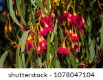 bright pink flowers of ... | Shutterstock . vector #1078047104