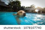 Stock photo golden retriever puppy exercises in swimming pool underwater view 1078107740