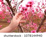 Small photo of Woman hand touches the tender petals of a fluffy pink flowers on blossom branches of a peach trees. Blooming spring orchard. Springtime garden