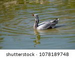 The Bar Headed Goose Is Named...