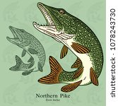Northern Pike, Pickerel. Vector illustration with refined details and optimized stroke that allows the image to be used in small sizes (in packaging design, decoration, educational graphics, etc.)