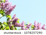 lilac. lilacs or syringe.... | Shutterstock . vector #1078257290