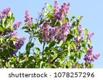 lilac. lilacs or syringe.... | Shutterstock . vector #1078257296