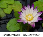 nymphaea lotus  water lily it... | Shutterstock . vector #1078296950
