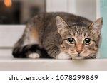 the frightened tabby cat shrank ... | Shutterstock . vector #1078299869