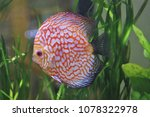 red and white discus in... | Shutterstock . vector #1078322978