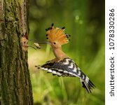 The hoopoe is feeding its chick....