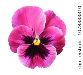 Small photo of Purple pink pansy flower on white isolated background with saved clipping path.