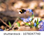 Bumble Bee At Snowdrops At...