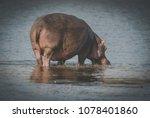 hippopotamus amphibius  south... | Shutterstock . vector #1078401860