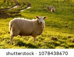Lone Sheep In Meadow With...