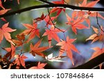 A Branch Of Yellow Red Leaves...