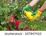 Spraying roses in a garden - stock photo