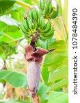 do not ripe bananas on a branch | Shutterstock . vector #1078484390