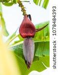 brown banana flower and green... | Shutterstock . vector #1078484393