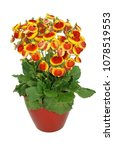 Small photo of Calceolariaherbeohybrida yellow to red isolated on white