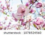 scruffy magnolia. shabby flower ...   Shutterstock . vector #1078524560
