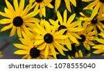 Yellow rudbeckia  coneflowers ...