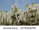 Small photo of wooden framework covered by wisteria sinensis alba in full blooming to form a pergola