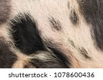 The Texture Of A Pig's Hair...