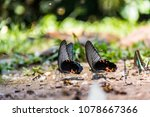 butterfly eat the minerals.  ... | Shutterstock . vector #1078667366