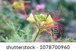 yellow flower of the caesalpinia | Shutterstock . vector #1078700960