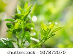 green lemon tree  in the nature - stock photo