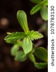 Small photo of Sprout of hemp cannabis marihuana