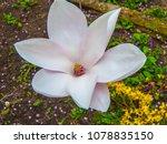 flower of magnolia by cu.... | Shutterstock . vector #1078835150