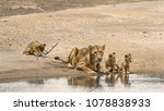 Stock photo african lion in kruger national park south africa specie panthera leo family of felidae 1078838933