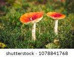 amanita muscaria mushroom on a...   Shutterstock . vector #1078841768