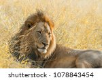 african lion in kruger national ... | Shutterstock . vector #1078843454
