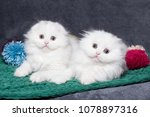 Stock photo two cute white british kittens are playing 1078897316